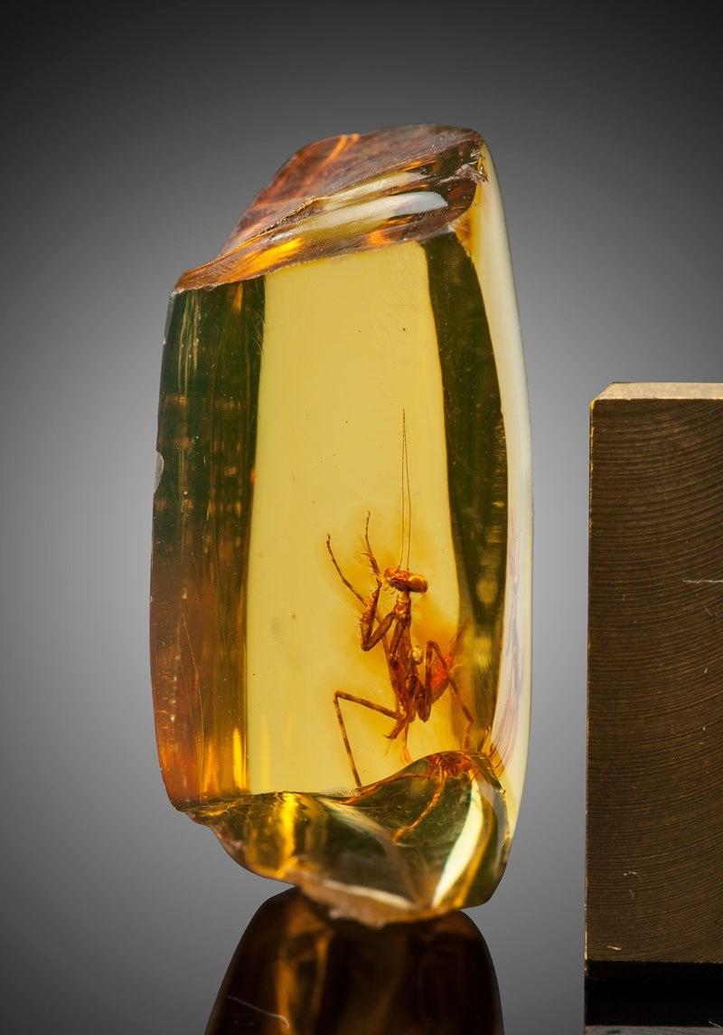 Une mante religieuse de 12 millions d'années enfermée dans l'ambre.jpg